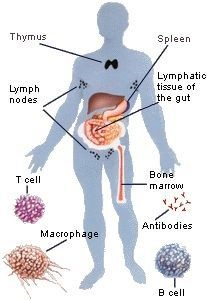 immune system functions